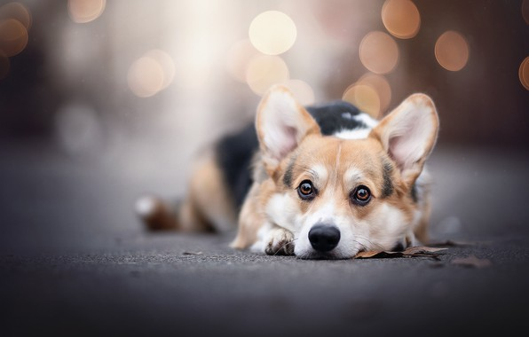 Picture look, glare, dog, face, doggie, Welsh Corgi