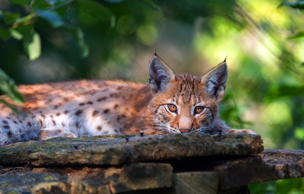 Picture look, face, pose, lies, lynx, wild cat