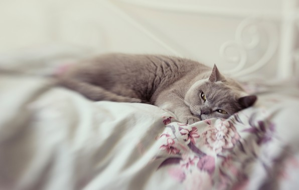 Picture cat, cat, look, pose, grey, blur, bed
