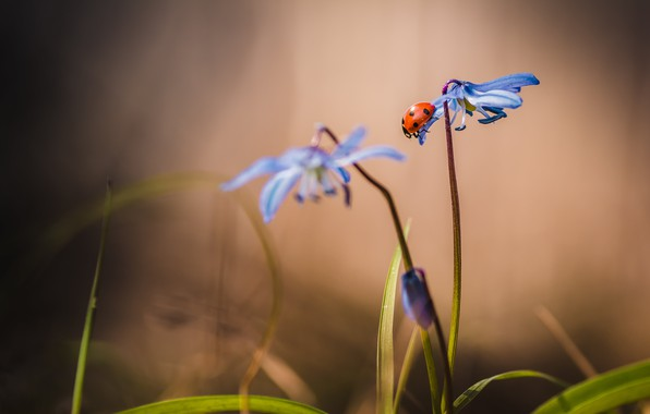 Picture flower, macro, ladybug, stem, insect, snowdrop