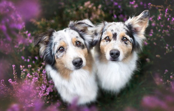 Picture dogs, summer, look, flowers, nature, pose, background, glade, two, portrait, dog, pair, a couple, Duo, …