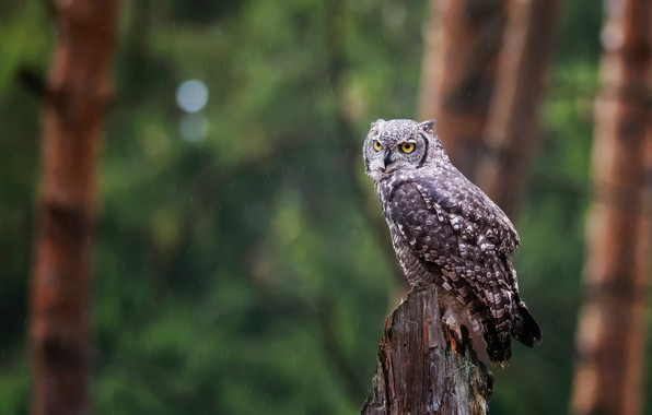 Picture the rain, forest, look, trees, green, background, rain, owl, bird, trunks, stump, grey, sitting, bokeh, …