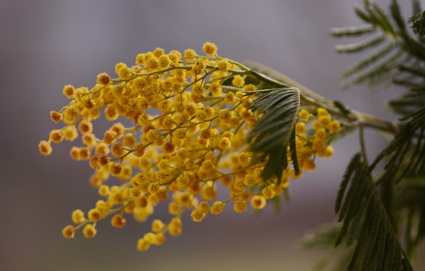 Picture sprig, spring, bokeh, Mimosa, macro flowers nature