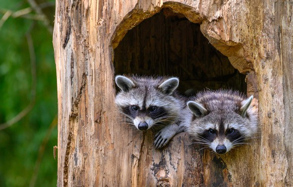Picture tree, pair, raccoon, trunk, bark, a couple, Duo, two, young, raccoons, cubs, the hollow, faces, …