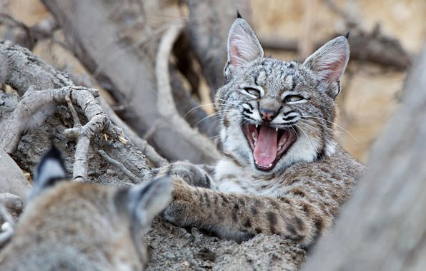 Picture mouth, cub, kitty, lynx, wild cat