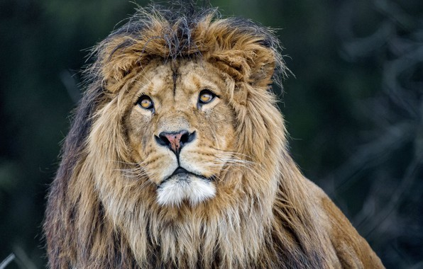 Picture lion, predator, king, mane