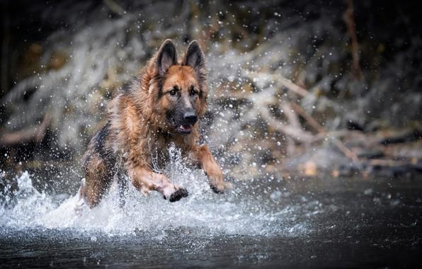 Picture water, squirt, dog, German shepherd