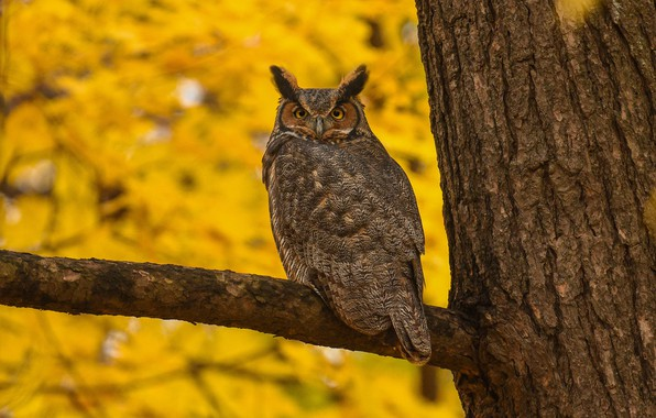 Picture autumn, look, yellow, nature, background, tree, owl, bird, foliage, branch, bark, handsome, owl
