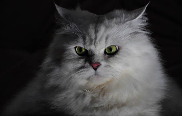 Picture white, cat, fluffy, Eyes