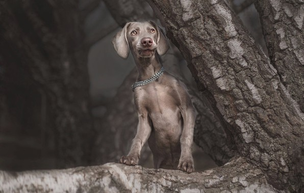 Picture look, face, nature, pose, the dark background, grey, tree, dog, branch, paws, chain, puppy, trunk, …