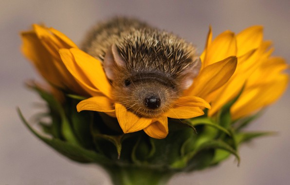 Picture flower, needles, yellow, background, sunflower, petals, nose, barb, muzzle, hedgehog, hedgehog, hedgehog, the best
