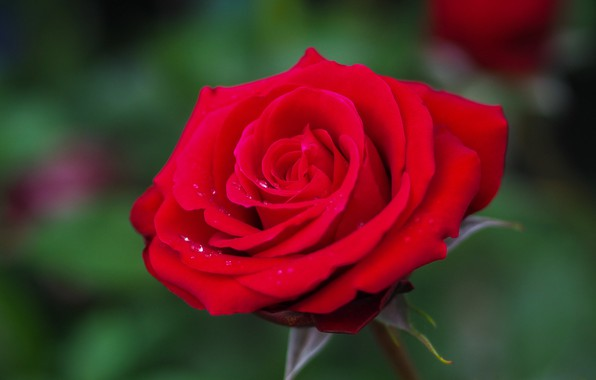 Picture drops, macro, background, rose, petals, Bud, red, scarlet