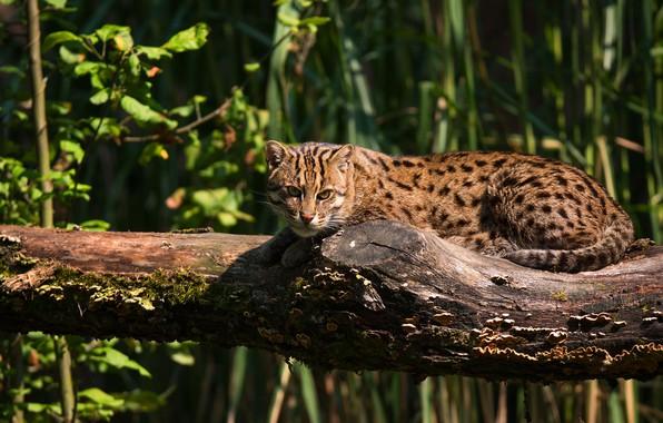 Picture grass, cat, look, light, pose, lies, log, wild cat, angler, Fisher cat