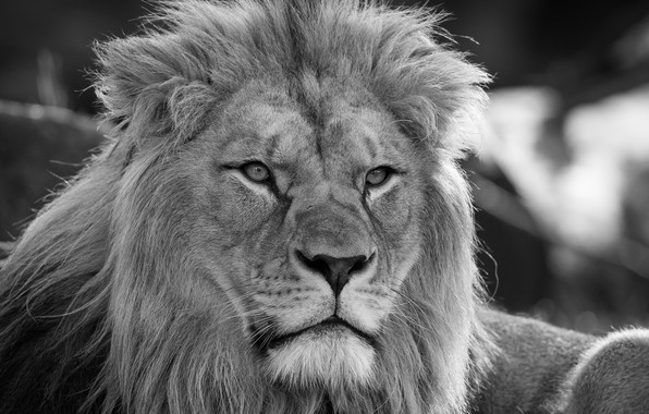 Picture look, face, portrait, Leo, black and white, mane, the king of beasts, wild cat, monochrome