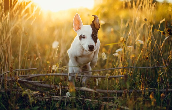 Picture field, summer, grass, light, branches, jump, dog, meadow, puppy, flowers, face, Sunny, spot, jumping, sports, …
