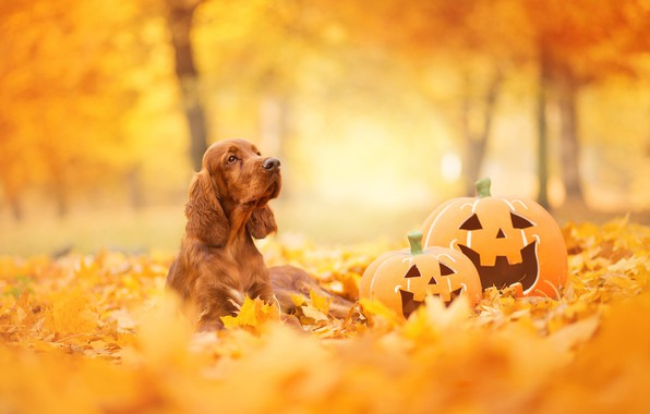 Picture autumn, look, face, leaves, Park, foliage, dog, pumpkin, lies, red, Halloween, English, yellow background, breed, …