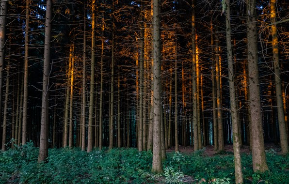 Picture forest, summer, the evening
