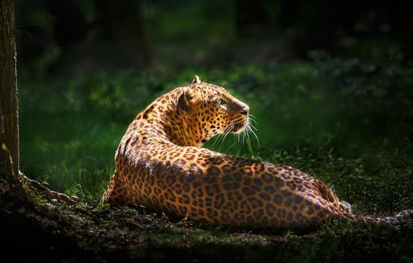 Picture greens, leopard, wild cat