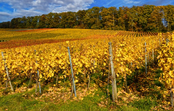 Picture autumn, Germany, the bushes, vine, Baden-Wuerttemberg