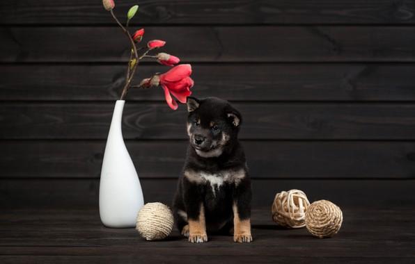 Picture flower, dog, puppy, vase, balls, Shiba inu, Ольга Смирнова