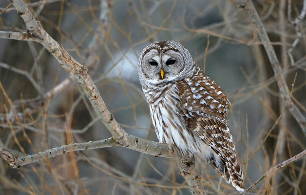 Picture trees, branches, nature, owl, bird, bokeh, Barred Owl, owl
