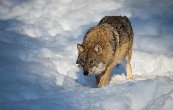 Picture winter, snow, nature, wolf, predator, bokeh