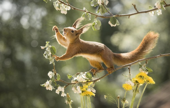 Picture flowers, branches, nature, pose, animal, spring, protein, dandelions, flowering, bokeh, animal, rodent