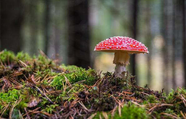 Picture forest, mushroom, moss, mushroom, bokeh