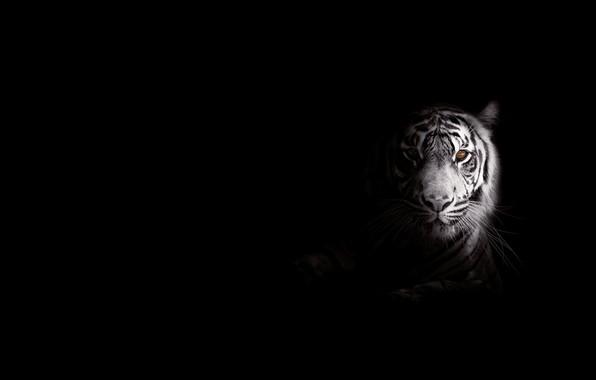 Picture strips, tiger, predator, big cat, foo