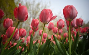 Picture field, tulips, red, pink, buds, flowerbed, a lot, Tulip