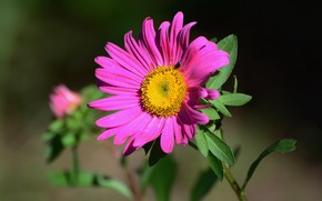Picture nature, Astra, summer mood, wildflowers
