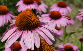 Picture flower, summer, Park, plant, insect, bumblebee, Botanical garden, Echinacea
