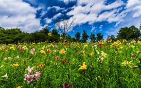 Picture greens, field, summer, the sky, clouds, trees, flowers, blue, Lily, garden, bright colors, a lot, …