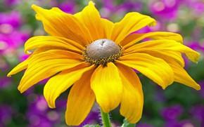 Picture flower, macro, yellow, one, bokeh, rudbeckia