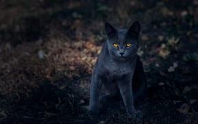 Picture cat, cat, look, nature, pose, the dark background, grey, muzzle, British, bokeh, yellow eyes