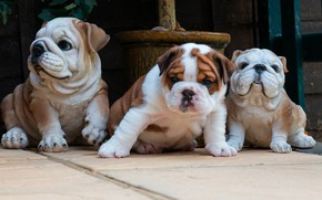 Picture dogs, tile, dog, baby, puppies, yard, puppy, bulldog, face, sitting, trio, figures, ceramics, the bulldogs