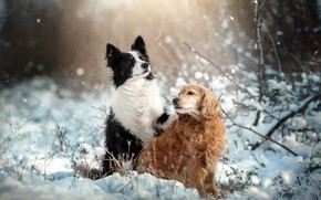 Picture winter, animals, dogs, snow, nature, pair, Spaniel, the border collie