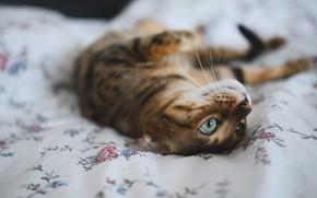 Picture cat, cat, look, pose, relax, bed, lies, bokeh, Bengal