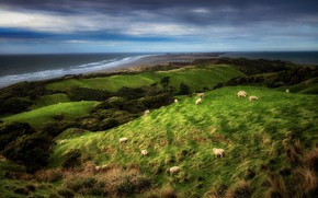 Picture coast, sheep, New Zealand, New Zealand, Farewell Spit