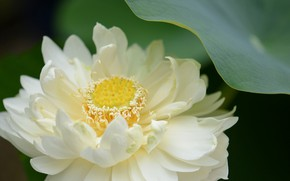 Picture white, flower, gentle, petals, Lotus