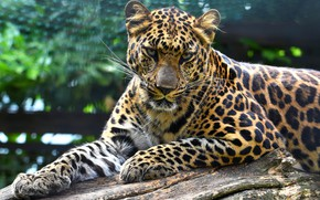 Picture look, face, leaves, pose, background, paws, leopard, lies, log, zoo, bokeh