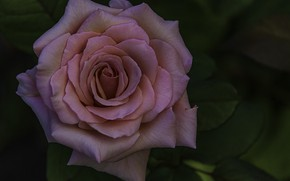 Picture background, rose, purple rose