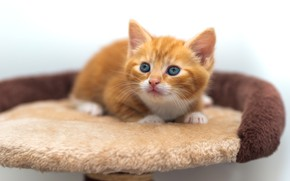 Picture cat, pose, baby, red, lies, kitty, light background, cutie, blue-eyed, bench
