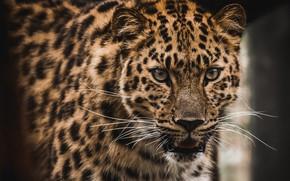 Picture mustache, predator, leopard