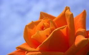 Picture macro, rose, orange, petals, Bud, blue background