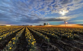 Picture field, flowers, daffodils yellow