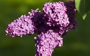 Picture flowers, background, spring, lilac