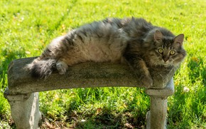 Picture cat, summer, grass, cat, look, face, bench, pose, grey, glade, fluffy, shop, lies, bokeh, selni
