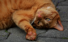 Picture cat, cat, look, face, pose, paw, red, lies, the sidewalk