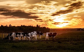 Picture field, sunset, cows